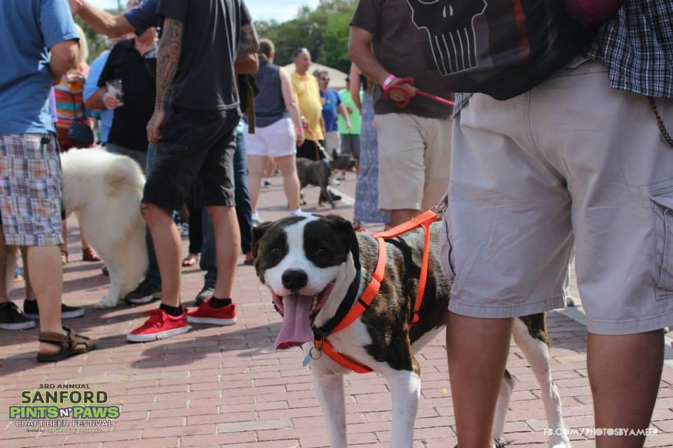 Dog Looking at Camera at Downtown Sanford Pints n' Paws